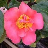 Camellia 'Senorita' - Find Azleas,Camellias,Hydrangea and Rhododendrons at Loder Plants